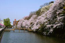 Cherry blossom viewing at Takaoka Kojo Park Photo