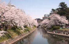 松川公園の桜写真
