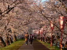 斐伊川堤防桜並木 桜の見ごろ写真