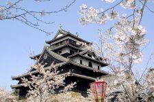 松江城山公園 桜の見ごろ写真